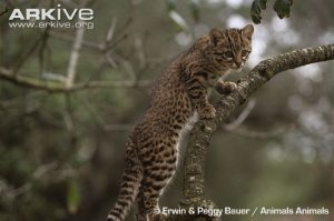 Young Geoffroys Cat on branch