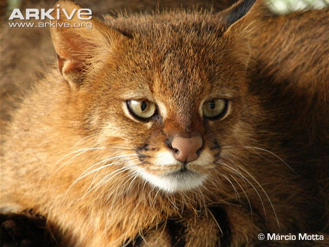 Adult pampas cat image