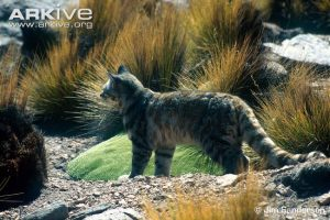 Andean Cat side profile by Jim Sanderson