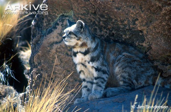Andean Cat sitting in rocky habitat