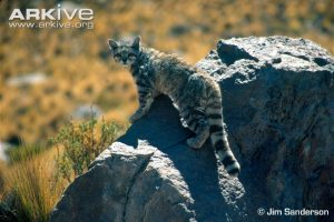 Andean Cat walking over rock by Jim Sanderson