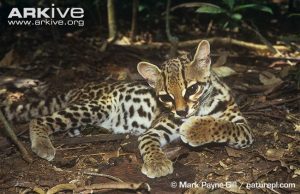 Margay grooming by Mark Payne-Gill