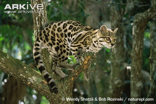 Margay in a tree