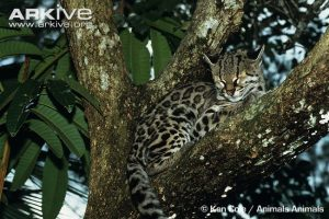 Margay resting in a tree