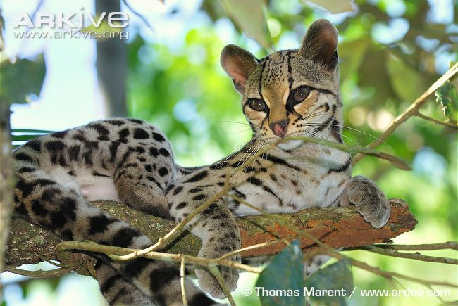 Margay resting on a branch