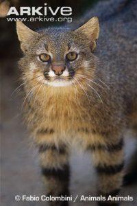 Pampas cat image