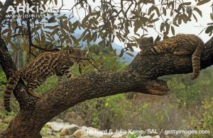 Pampas kittens in tree - image