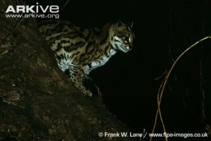 Oncilla climbing out of a tree by Frank W Lane (Leopardus tigrinus)