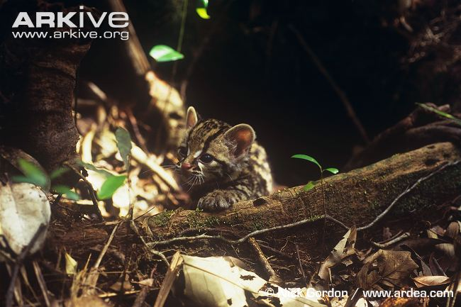 Oncilla kitten by Nick Gordon (Leopardus tigrinus)