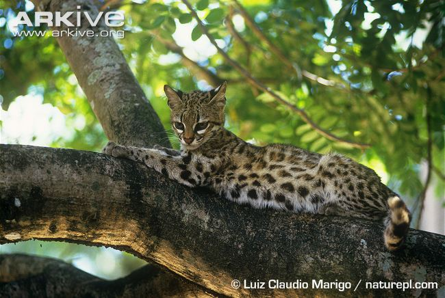 Oncilla resting in a tree by Luiz Claudio Margio (Leopardus tigrinus)