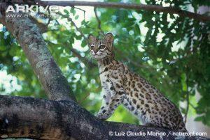 Oncilla sitting in a tree by Luiz Claudio Marigo (Leopardus tigrinus)