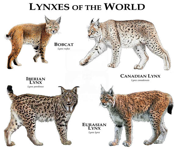 Lynxs of the World Print