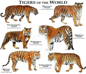 Tigers of the World Print
