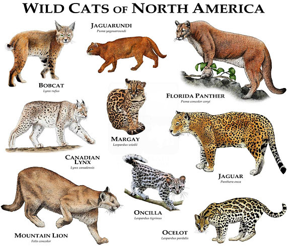 Wild Cats of North America Print