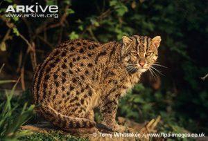 Female Fishing Cat (Prionailurus viverrinus)