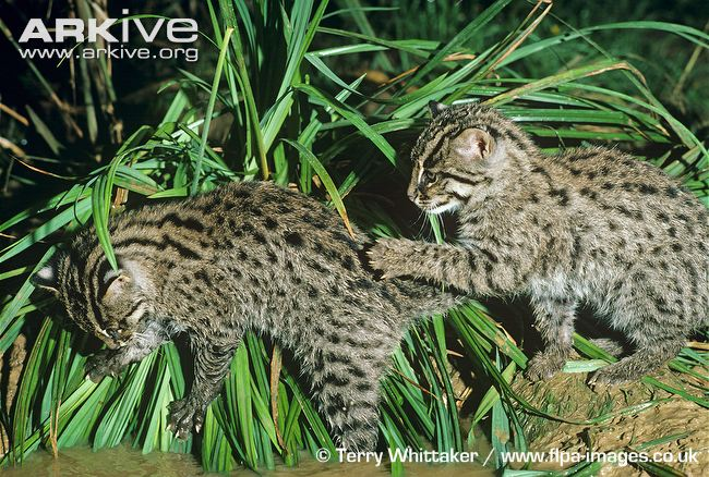 Fishing cat kittens at waters edge (Prionailurus viverrinus)