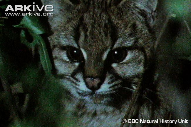 Guiña / Kodkod head detail (Leopardus guigna)