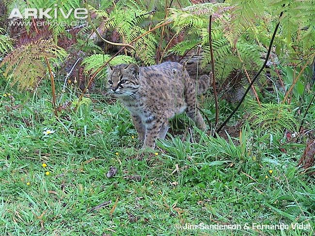 Guiña / Kodkod in habitat (Leopardus guigna)
