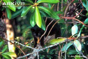 Guiña / Kodkod melanistic form (Leopardus guigna)