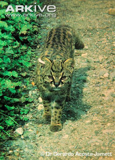 Guiña / Kodkod walking along track (Leopardus guigna)