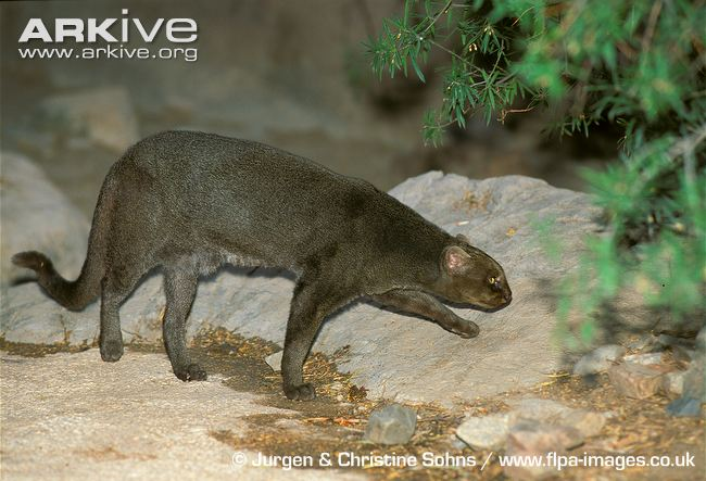 Jaguarundi grey colour morph (Herpailurus yagouaroundi)