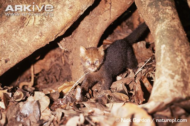 Jaguarundi kitten in tree roots (Puma yagouaroundi)