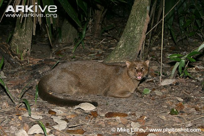 Jaguarundi resting on ground (Puma yagouaroundi)