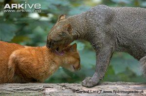 Jaguarundis allogrooming red and grey colour morph (Puma yagouroundi)