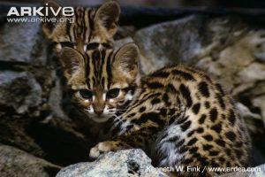 Leopard cat kittens (Prionailurus bengalensis)