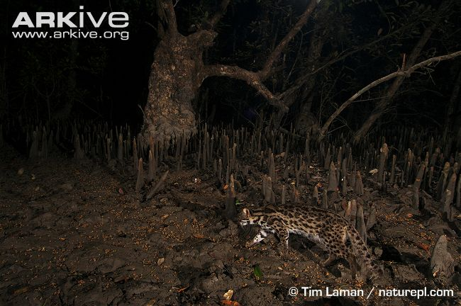 Leopard cat prowling through mangroves (Prionailurus bengalensis)