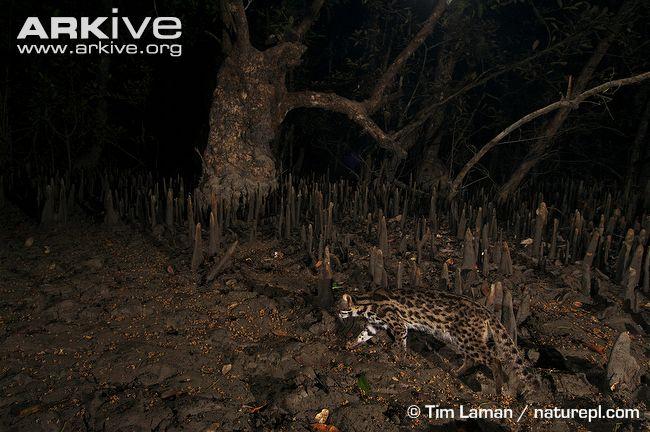 Leopard cat prowling through mangroves (Prionailurus bengalensis)