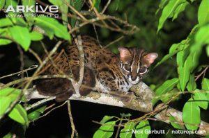 Leopard cat resting in tree (Prionailurus bengalensis)
