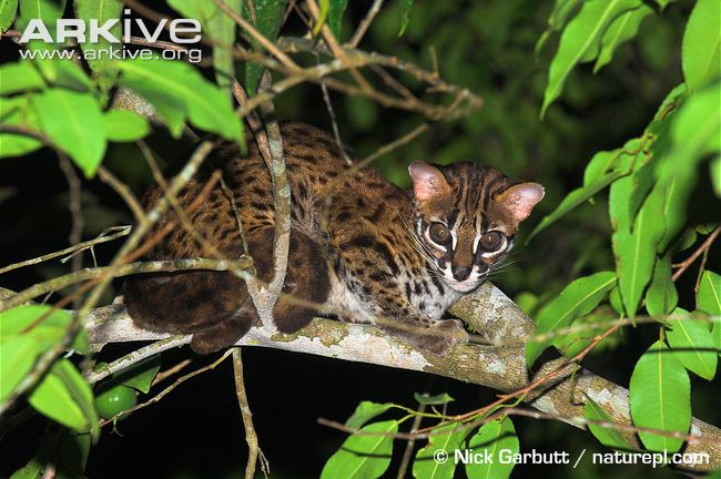 Leopard cat resting in tree (Prionailurus bengalensis)