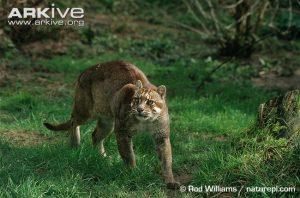 Asiatic Golden Cat (Pardofelis temminckii)