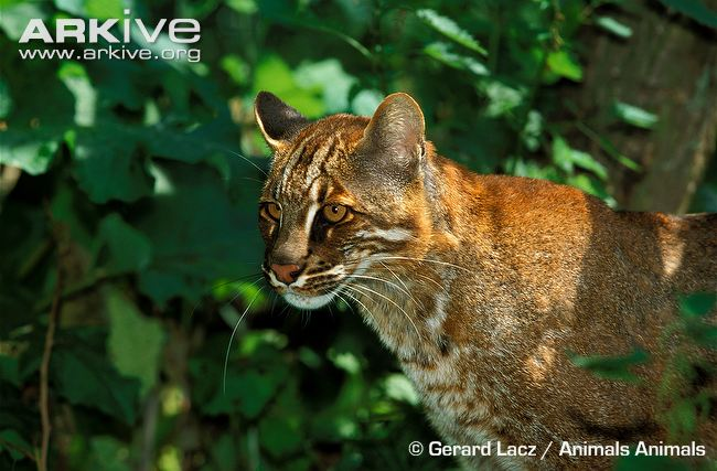 Asiatic Golden Cat (Pardofelis temminckii) by Gerard Lacz