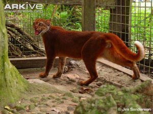 Male Borneo Bay Cat (Pardofelis badia)