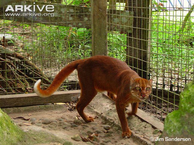Captive Borneo Bay Cat (Pardofelis badis)