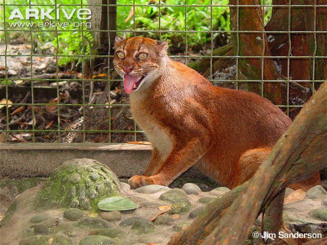 Borneo Bay Cat (Pardofelis badia)