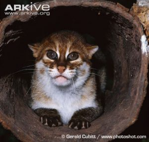 Flat-headed Cat (Prionailurus planiceps) Close-up