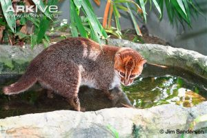 Flat-headed Cat (Prionailurus planiceps) captive - fishing in pond