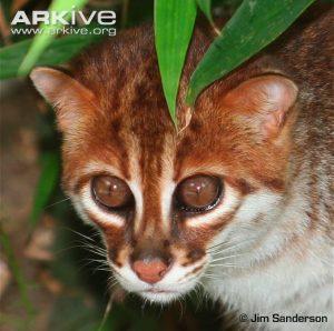 Flat-headed Cat (Prionailurus planiceps) - head detail