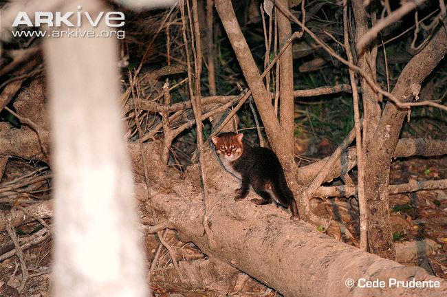 Flat-headed cat (Prionailurus planiceps) on fallen log in habitat