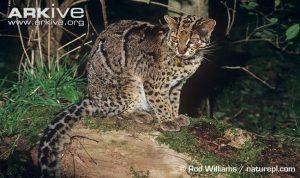 Male Marbled Cat (Pardofelis marmorata)