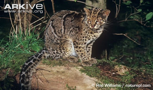 Male Marbled Cat (Pardofelis marmorata)