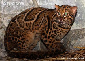 Marbled Cat (Pardofelis marmorata) side profile
