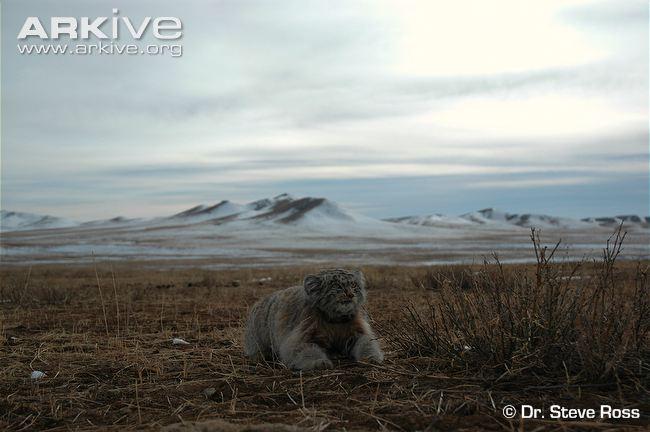 Pallas's Cat (Otocolobus manul) in habitat