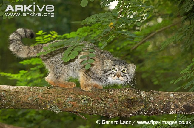 Pallas's Cat (Otocolobus manul) on branch - reddish coloring