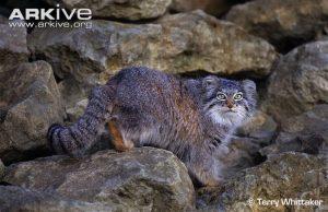 Pallas's Cat (Otocolobus manul) climbing over rocks