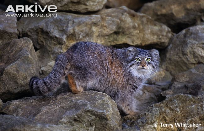 Pallas's Cat (Otocolobus manul) climbing over rocks
