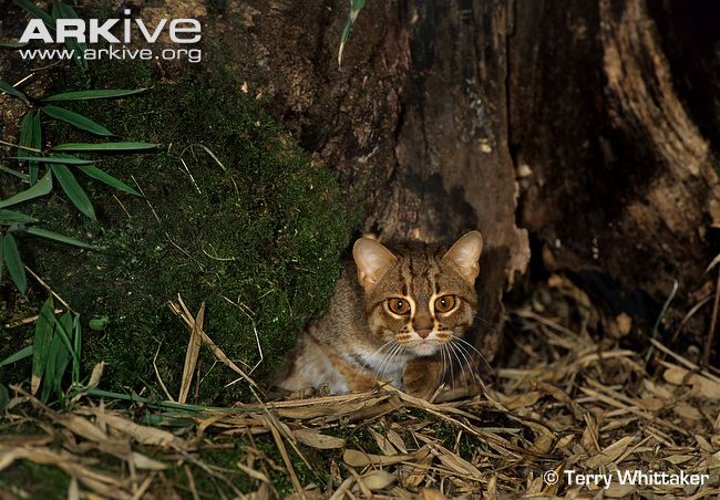 Rusty-spotted cat (Prionailurus rubiginosus) denning in tree cavity